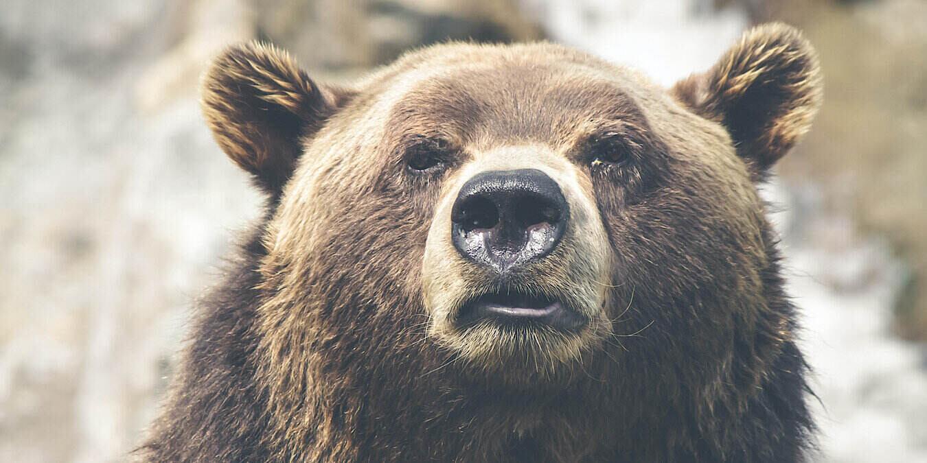 El reconocimiento facial no es sólo para las personas: también para los osos y las vacas
